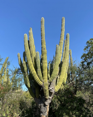 Pachycereus Pringlei | Mexican Giant Cardon Cactus Seeds