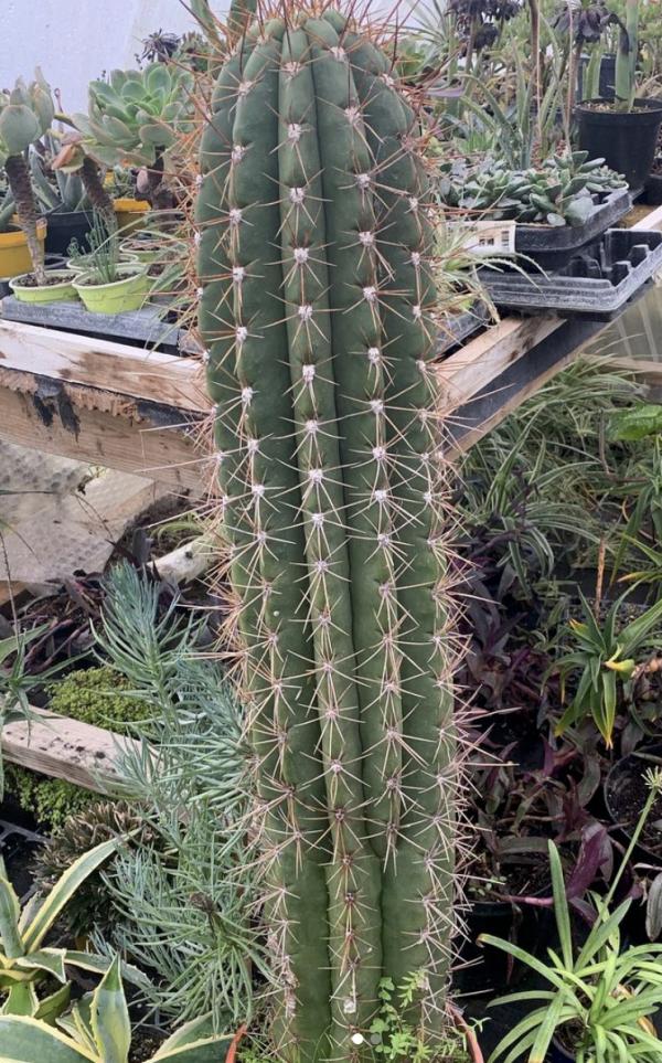 Trichocereus Pasacana Seeds