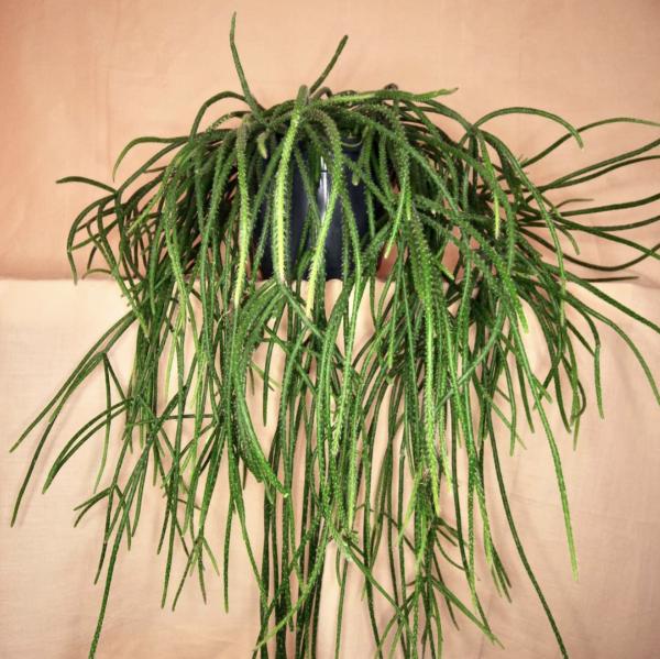 Rhipsalis Cactus Seed Mix | Epiphytic Cactus