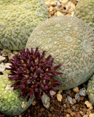 Pseudolithos Migiurtinus Succulent Seeds