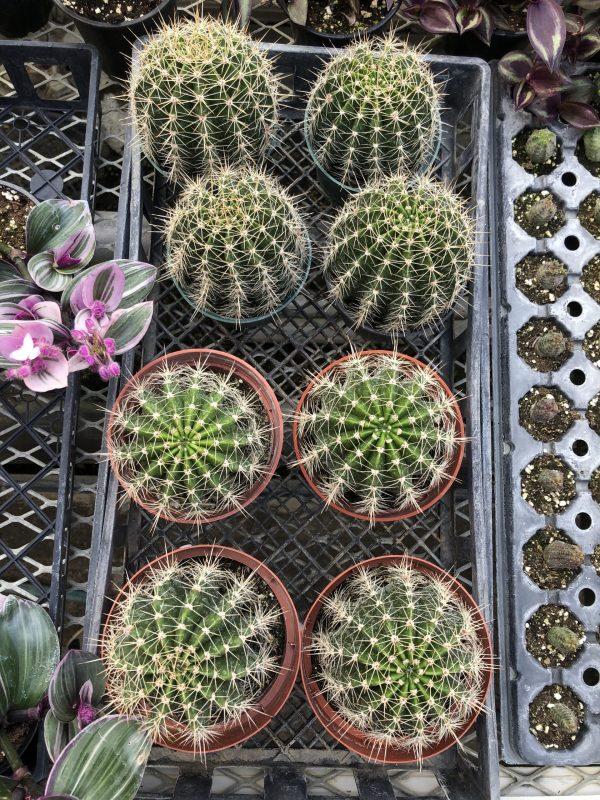 Large Cactus Mix |