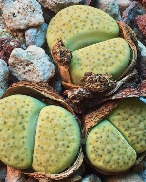 Lithops Fulviceps v Aurea Seeds | Lithops Fulviceps Succulent Seeds