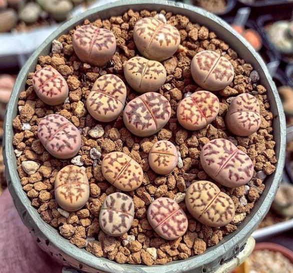 Lithops Dorotheae Seeds