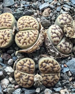Lithops Bromfieldii v Mennellii Seeds