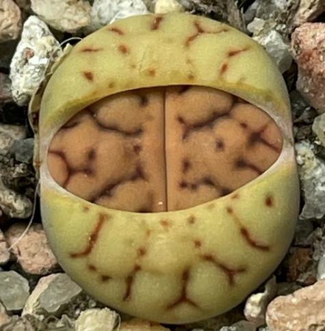Lithops Bromfieldii Mesembryanthemum Seeds