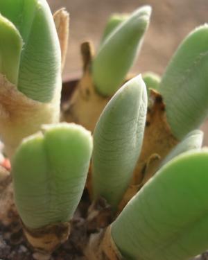 Vanheerdia Roodiae Seeds