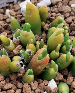 Oophytum Oviforme Mesembryanthum Seeds