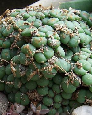 "Conophytum Bilobum ""Diversum"" Seeds"