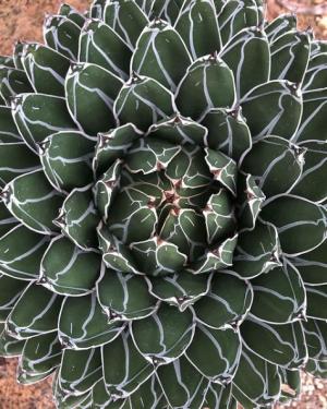 Agave Victoriae-Reginae Seeds