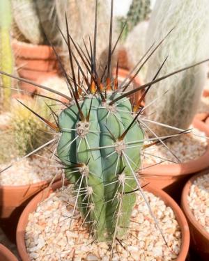 Stetsonia Coryne Cactus Seeds