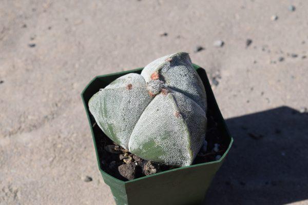 Astrophytum Myriostigma Tricostatum Cactus