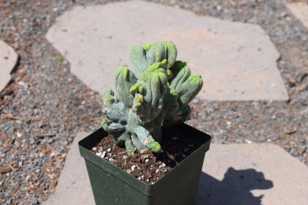 Trichocereus Bridgesii Crest | Bolivian Torch Crested Cactus