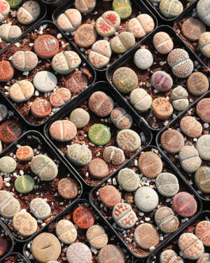 Lithops Species Mix Bundle