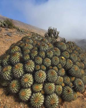 Copiapoa Eremophila Cactus Seeds