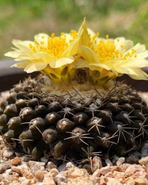 Copiapoa Tenuissima Cactus Seeds