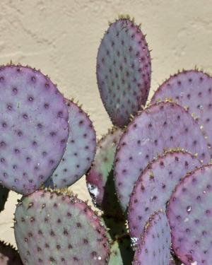 Opuntia Violacea v. Santa Rita | Purple Prickly Pear Seeds