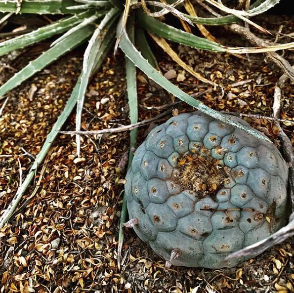 Lophophora Williamsii Var. San Ignacio Cactus Seeds