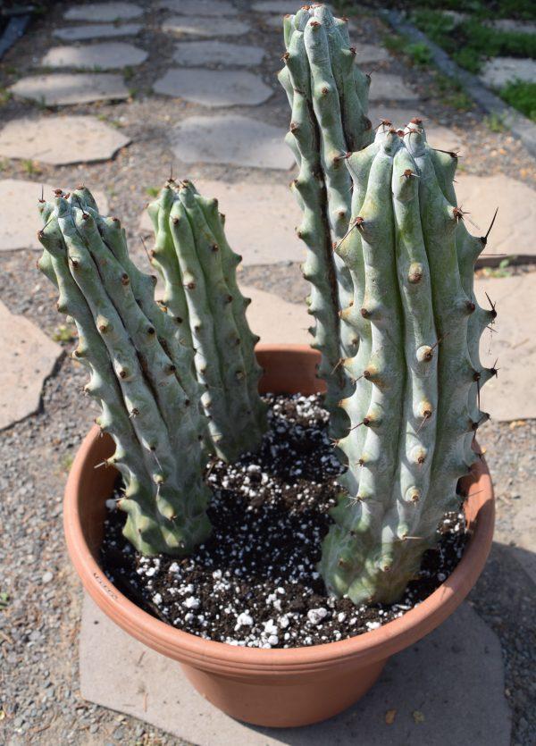 Stenocereus Beneckei Cactus