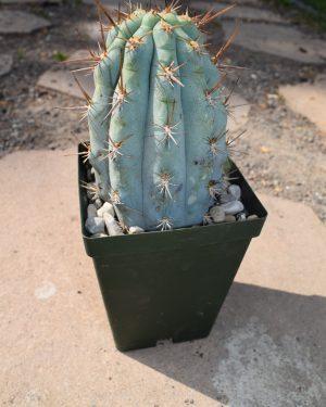 Browningia Hertlingiana Cacti