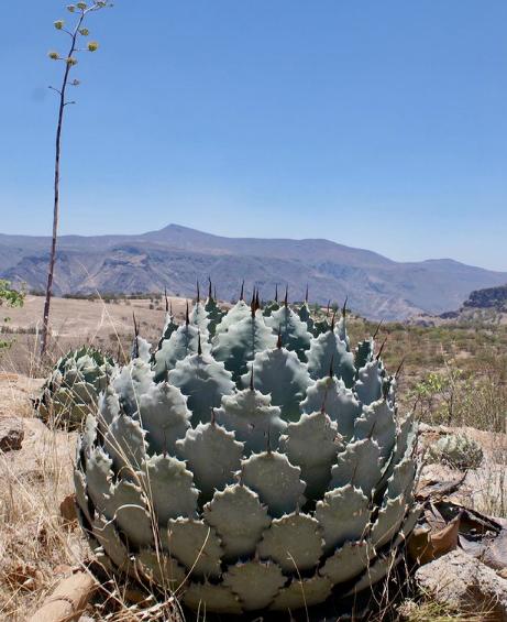Agave Guadalajara Seeds