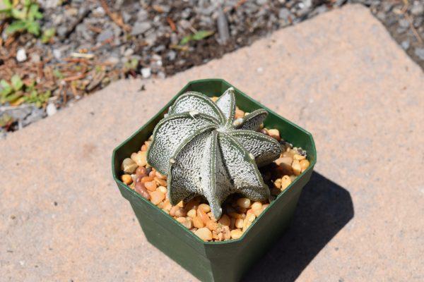 Astrophytum Capricorne v Major White Cactus