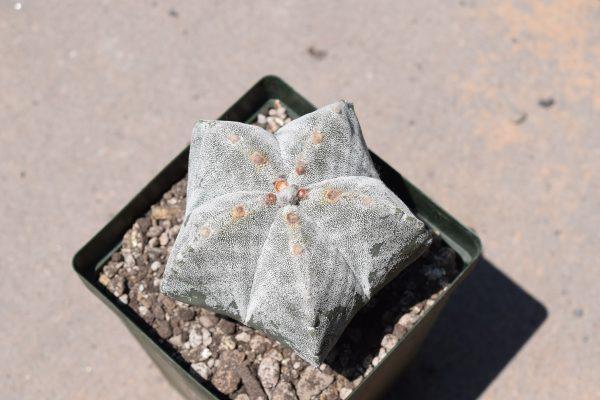 Astrophytum Myriostigma | Bishop's Cap Cactus