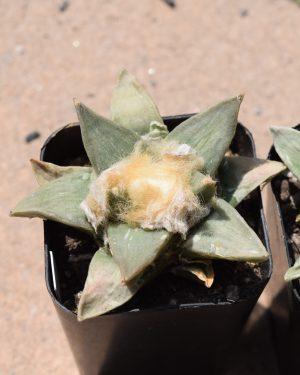 Ariocarpus Retusus Cactus