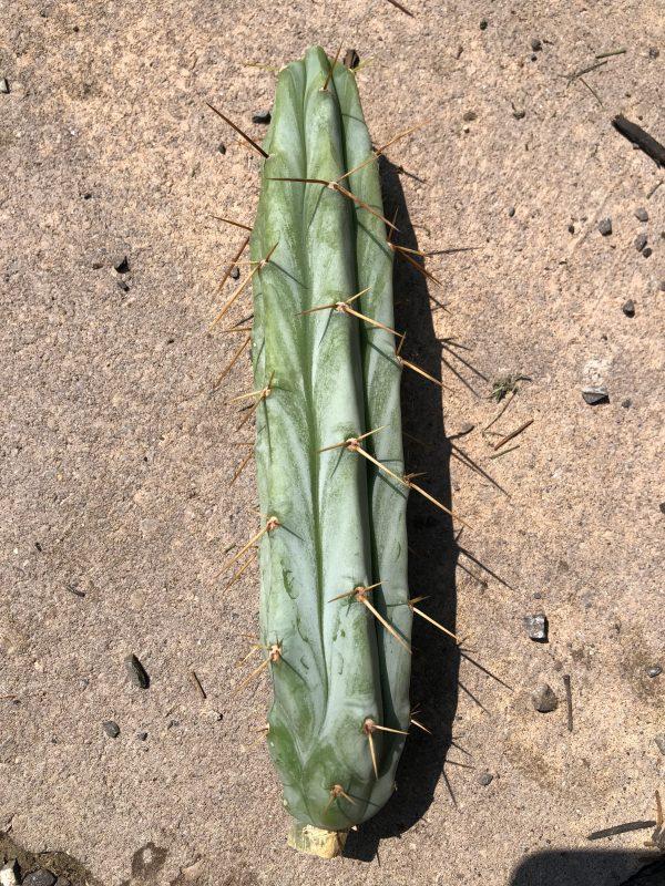 Trichocereus Bridgesii   Bolivian Torch Cactus Cutting