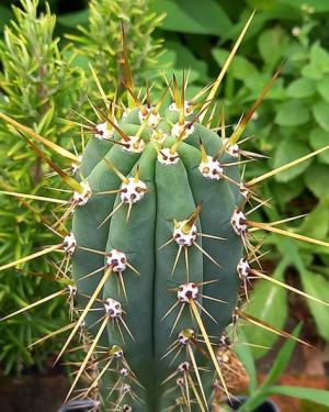 Trichocereus Cuzcoensis Cactus Seeds