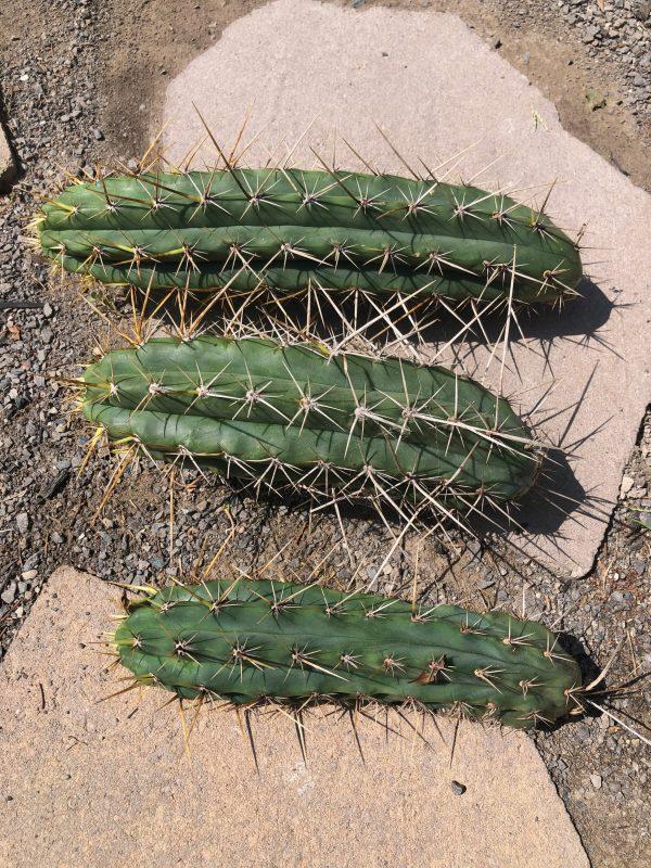 Trichocereus Peruvianus Cuzcoensis   Peruvian Torch Cactus Cutting