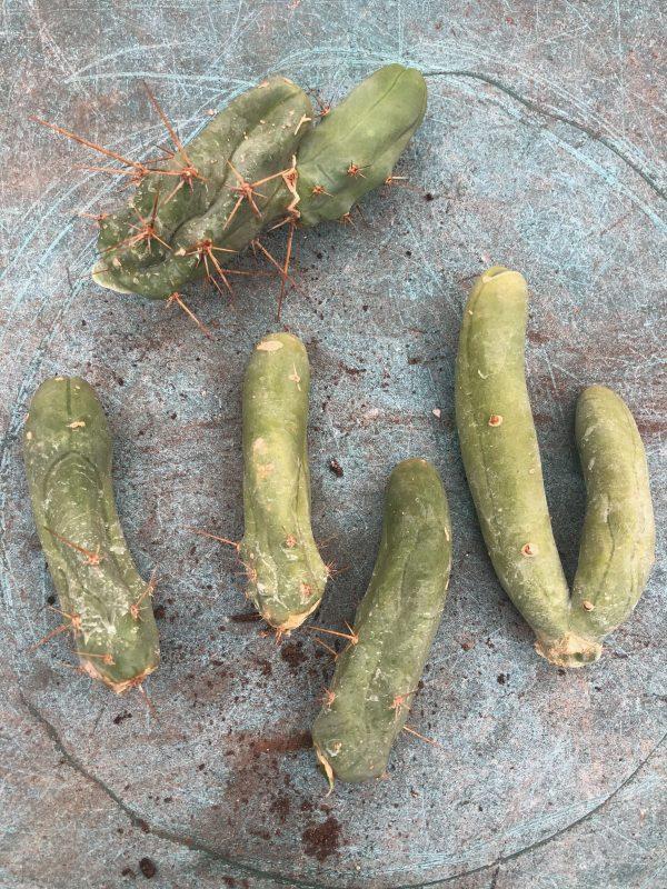 Trichocereus Bridgesii Monstrose   Bolivian Torch Monstrose Cactus