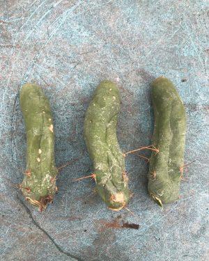 Trichocereus Bridgesii Monstrose | Bolivian Torch Monstrose Cactus