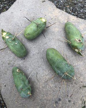 Trichocereus Bridgesii Monstrose | Bolivian Torch Monstrose Cactus | Penis Cactus