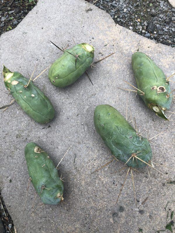 Trichocereus Bridgesii Monstrose   Bolivian Torch Monstrose Cactus   Penis Cactus