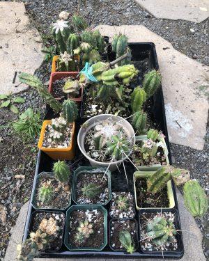 Trichocereus Mixed Plants