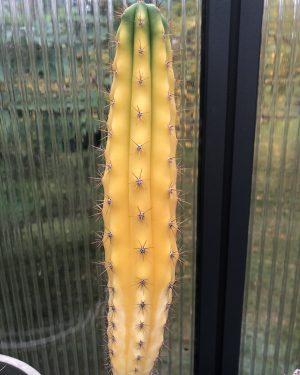 Trichocereus Pachanoi Variegata   Variegated San Pedro Cactus