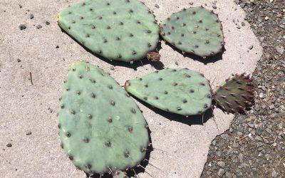 Purple Prickly Pear Cactus | Opuntia Gosseliniana var. Santa-Rita