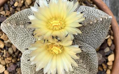 Astrophytum Myriostigma Cactus Seeds
