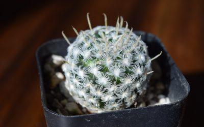 Mammillaria Duwei Cactus