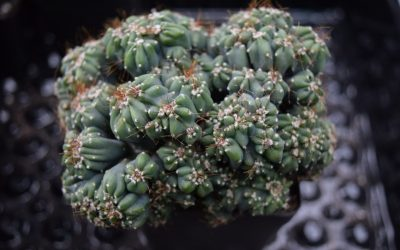 Cereus Forbesii Monster
